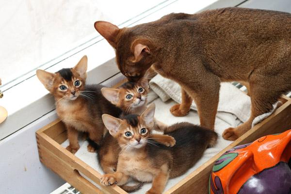 Котята абиссинцев