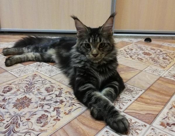 Кошечка мейн-куна