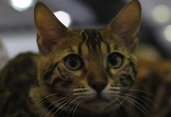 Бенг кошка