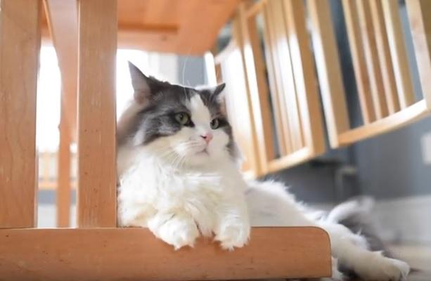 кошка-такса манчкин