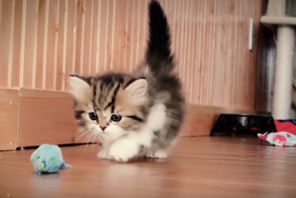 котенок кошки-таксы