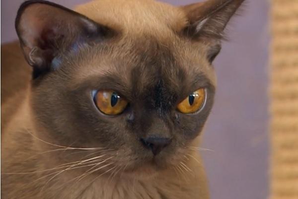 Злая бурманская кошка