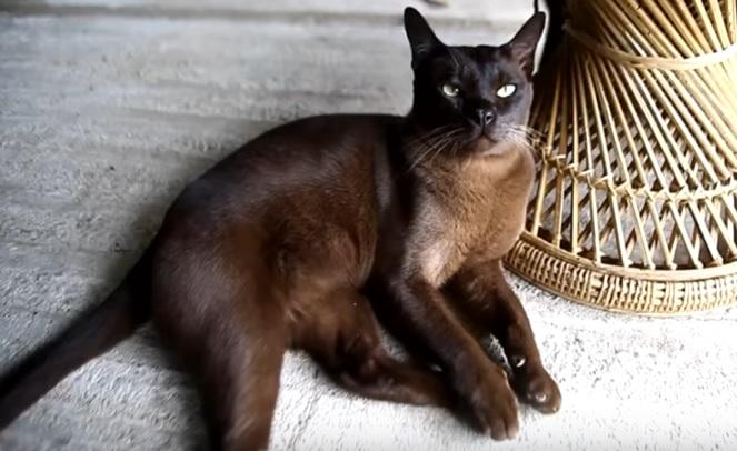 Окрас бурманской кошки