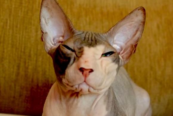 Кошка донской лысак