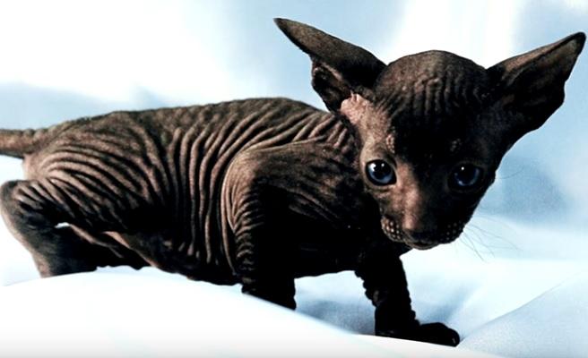 Питерболд котенок