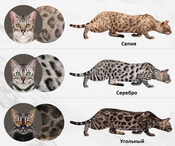 Бенгальская кошка - характеристика породы, описание, уход | 488x587