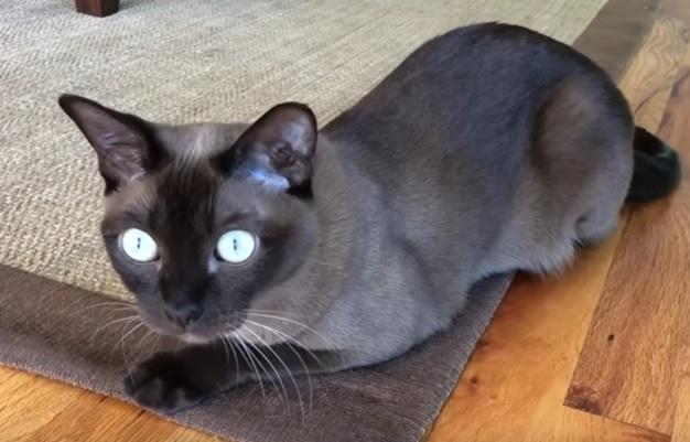 Бурма кошка