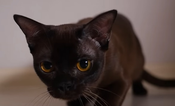бурма котенок