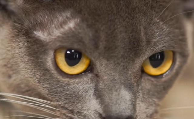 цвет глаз бурмы