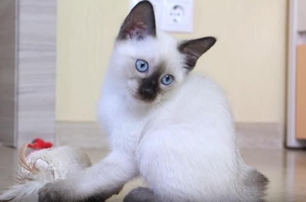 Котенок тайского бобтейла
