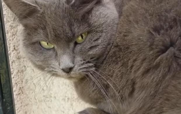 кот шартрез серый