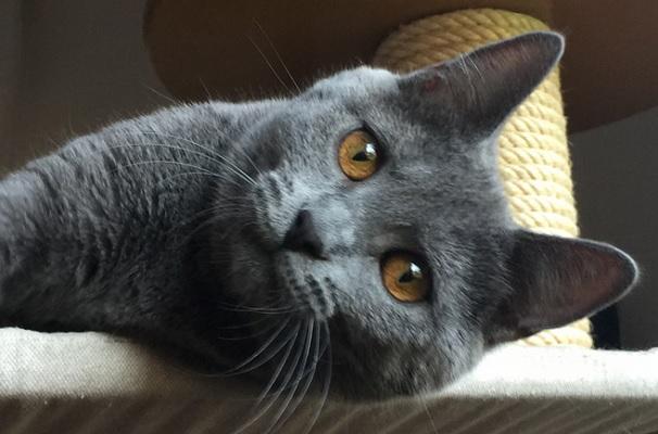 Картезианская порода кошек
