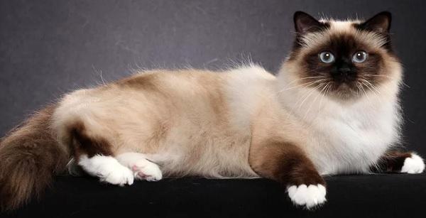 Порода кошек бирма