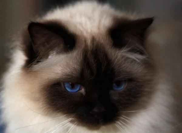 Бирма кошка