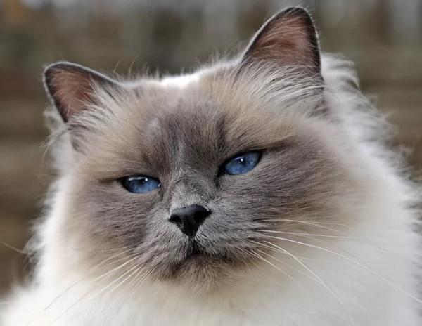 Священная бирма кошка
