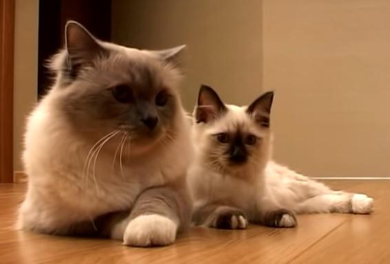 Кошка и котенок бирмы