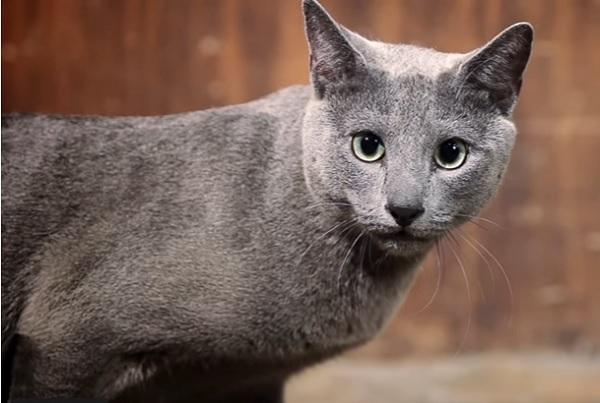 Русак кошка