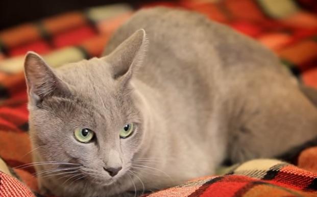 Архангельская кошка