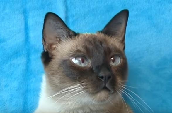 кот таец характер