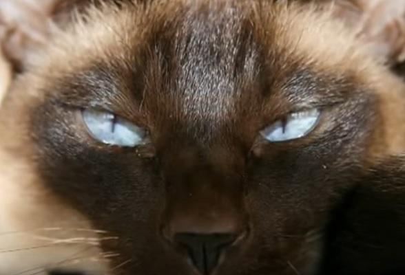 Старосиамский кот