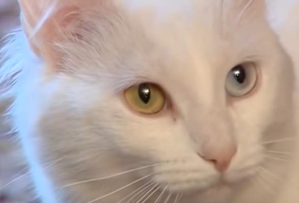 Ангора с разноцветными глазами
