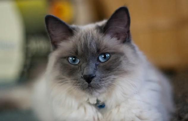 балийский кот
