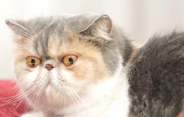 Экзотическая короткошерстна кошка