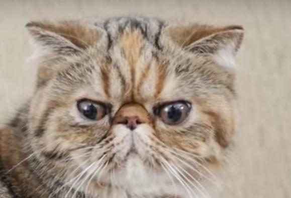 кошка экзотика