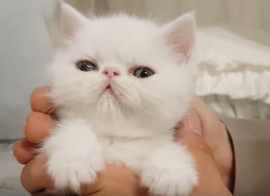 котенок экзота