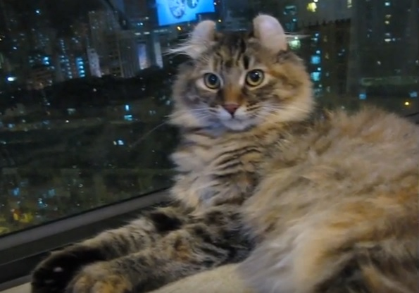 кот керл