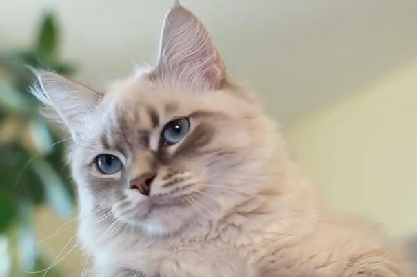 котенок невак