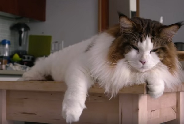 мейн-кун самый большой кот