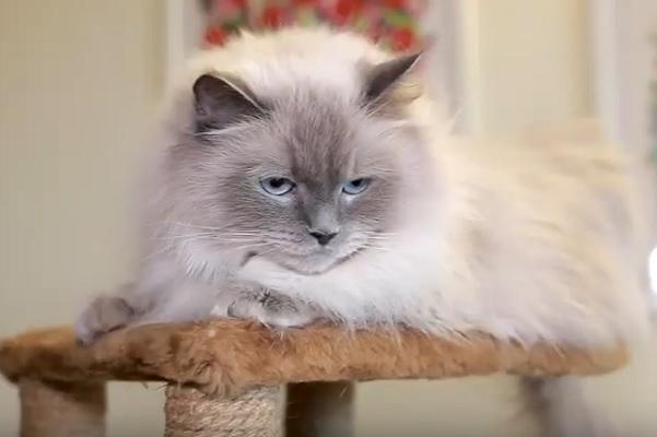 невак котенок