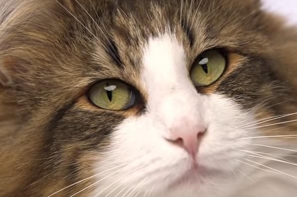 Норвежец кот