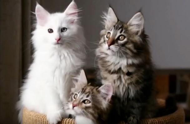 Окрасы норвежских кошек