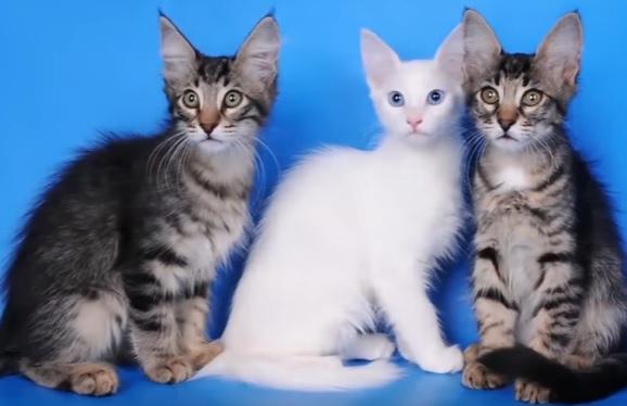 Окрасы ангорской кошки