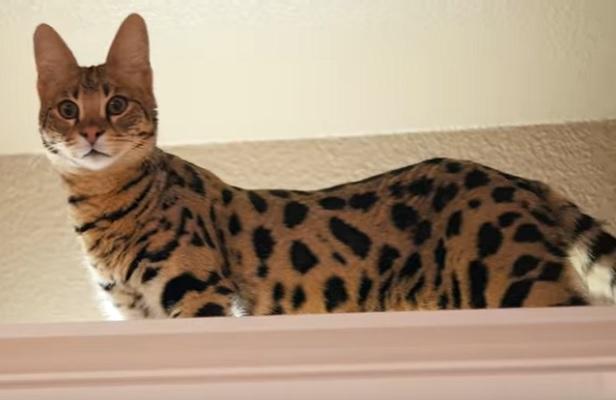 Саванский кот
