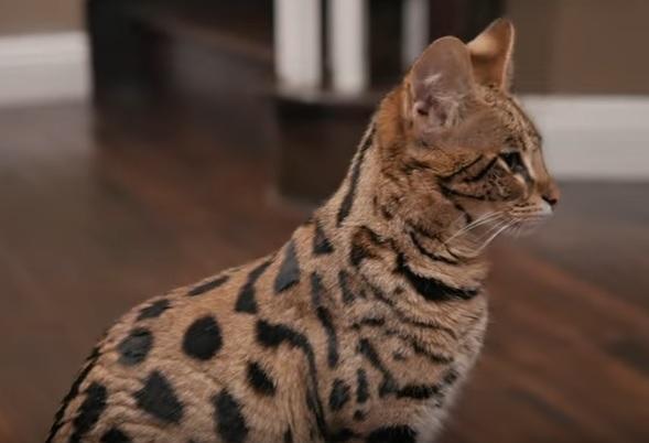 Саванская кошка