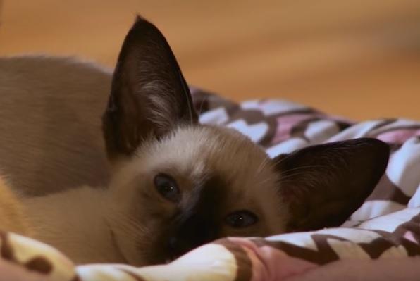 Сиам котенок