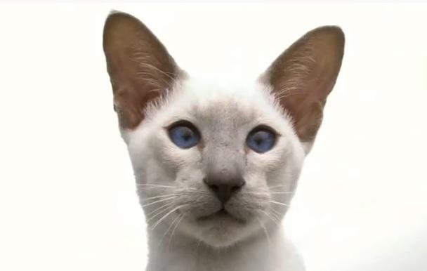 Сиамка кошка