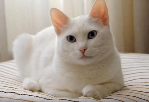 Белый ванский кот