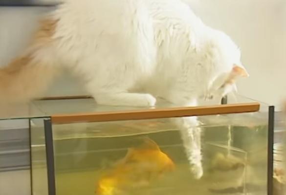 Ванские кошки любят воду