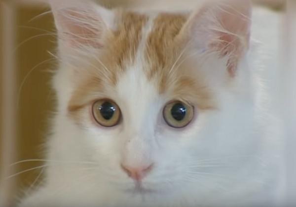 Ванский кот