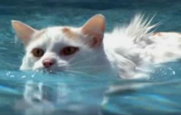 Кот ван плавает