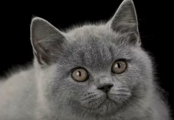 Котенок британской короткошерстной