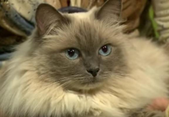 Бухарская кошка