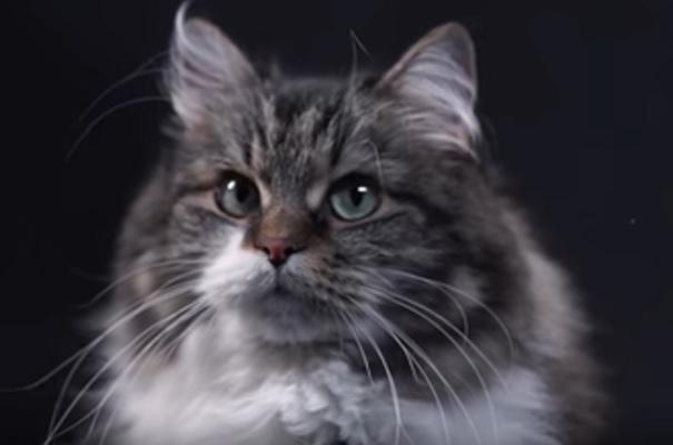 кот Сибиряк