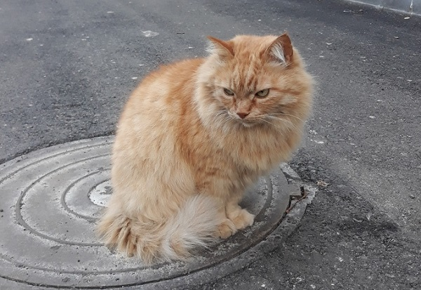 Демодекоз у кота