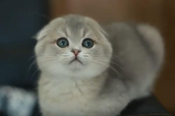 котенок фолд