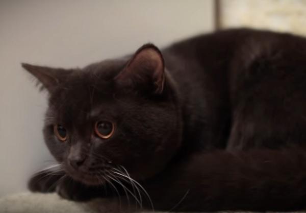окрас британской кошки